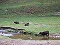 Cattle near Burnfoot - geograph.org.uk - 827020.jpg