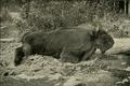 CaucasianBison-Demidoff1898.png