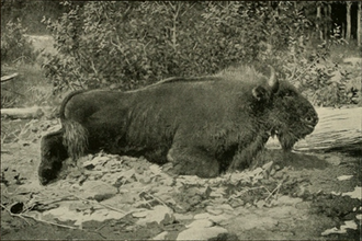 Caucasian wisent - An image of a killed Caucasian bison from E. Demidoff's book 'Hunting Trips in The Caucasus' (1889)