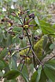 Caulophyllum giganteum SCA-01412p.jpg