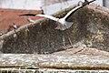 Cegonha Branca ( Ciconia ciconia ) 23 (48309357197).jpg