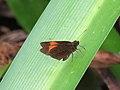 Celaenorrhinus ladana (39384145250).jpg