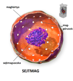Cell nucleus-hu.png