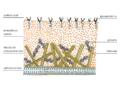 Cell wall structure of Fungi.png