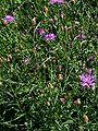 Centaurea sadleriana-2.JPG