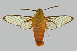 Cephonodes tamsi BMNHE274328 male up.jpg