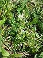 Cerastium holosteoides sl17.jpg