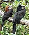 Ceratogymna atrata - Jardin d'oiseaux tropicaux - DSC04947.JPG
