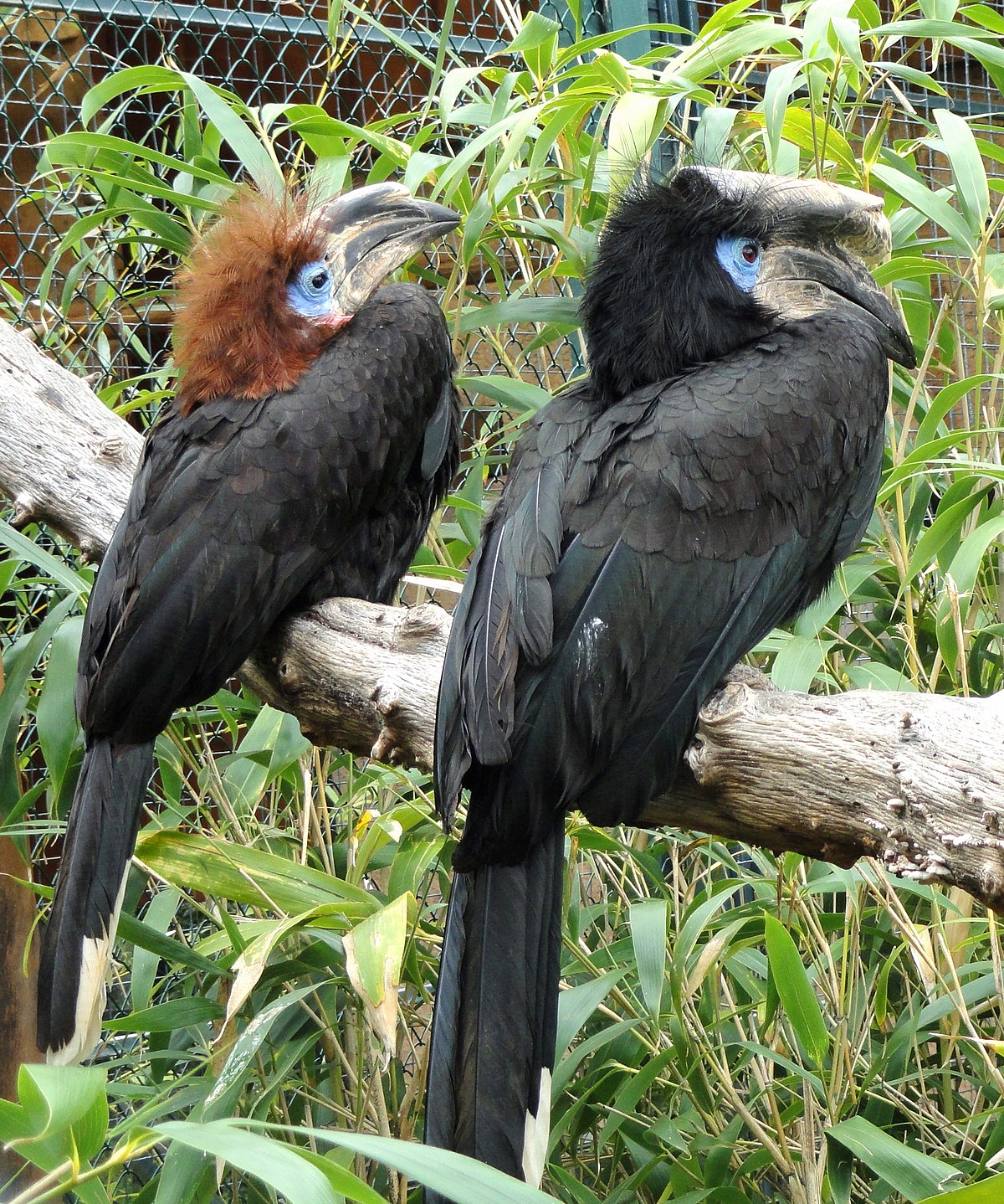 black casqued hornbill wikipedia. Black Bedroom Furniture Sets. Home Design Ideas