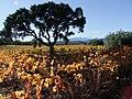 Chêne-liège et vignes, un destin commun pour la qualité de leur prestigieuse production.jpg
