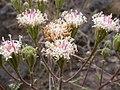 Chaenactis douglasii (4049555433).jpg
