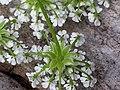 Chaerophyllum temulum inflorescence (33).jpg