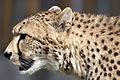 Cheetah Head 2 (4505749010).jpg