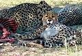 Cheetahs (Acinonyx jubatus) on male springbok carcass ... (51006929450).jpg