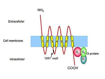 Jak zbudowane są receptory