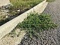 Chenopodium vulvaria sl84.jpg