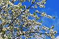 Cherry Blossom (13795869794).jpg
