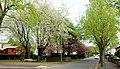 Cherry trees, Belfast - geograph.org.uk - 1840916.jpg
