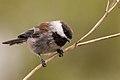 Chestnut-backed Chickadee (29036428005).jpg