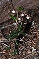 Chimaphila umbellata 9660.JPG