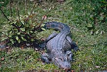 A Chinese alligator in short grass