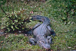 Chinese alligator species of reptile