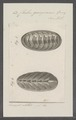 Chiton georgianus - - Print - Iconographia Zoologica - Special Collections University of Amsterdam - UBAINV0274 081 06 0020.tif