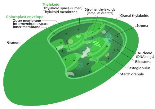 Chloroplast ultrastructure Chloroplasts have at least three distinct membrane systems, and a variety of things can be found in their stroma.