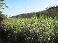 Chromolaena odorata Dans le nord du Laos un champ de canne à sucre est en lutte avec l'herbe du Laos.jpg