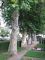 Chropyně, platany na hřbitově.jpg