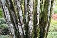 Chrysalidocarpus madagascariensis 0zz.jpg