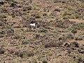 Chukar Trapping06 Wild Horse (37018510392).jpg