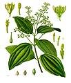 Cinnamomum verum - Köhler–s Medizinal-Pflanzen-182.jpg