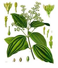 Cinnamomum verum - Köhler–s Medizinal-Pflanzen-182