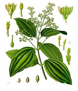 《科勒藥用植物》(1897), Cinnamomum zeylanicum