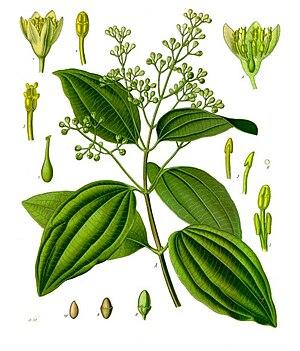 Cinnamon - Cinnamomum verum, from Koehler's Medicinal-Plants (1887)