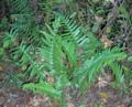 Cinnamon-Ferns (5614911696).png