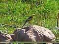 Citrine Wagtail Motacilla citreola, Rawal Lake, Pakistan 1.jpg