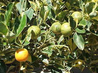 Citrofortunella genus of plants