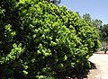 Citrus aurantium chinotto.jpg