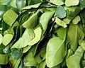 Citrus hystrix (Leaves).JPG
