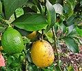 Citrus limon. Llimonal.jpg