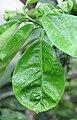 Citrus maxima (Pampelmuse) 003.jpg
