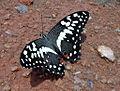 Citrus swallowtail puddling.JPG