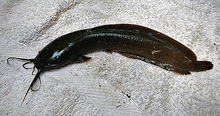Walking catfish habitat