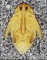 Cleopomiarus medius (10.3897-zookeys.808.28172) Figure 93.jpg