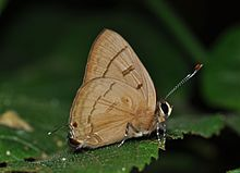 Close wing position of Female Rapala pheretima Hewitson, 1863 – Copper Flash WLB DSC 0024 (3).jpg