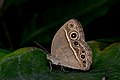 Close wing position of Mycalesis perseus Fabricius, 1775 – Common Bushbrown WLB DSC 2474.jpg