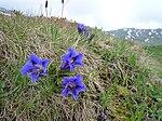 Ensian og ægte edelweiss er symboler for Østrigs alpine flora.