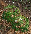 Cnidoscolus urens 2.jpg